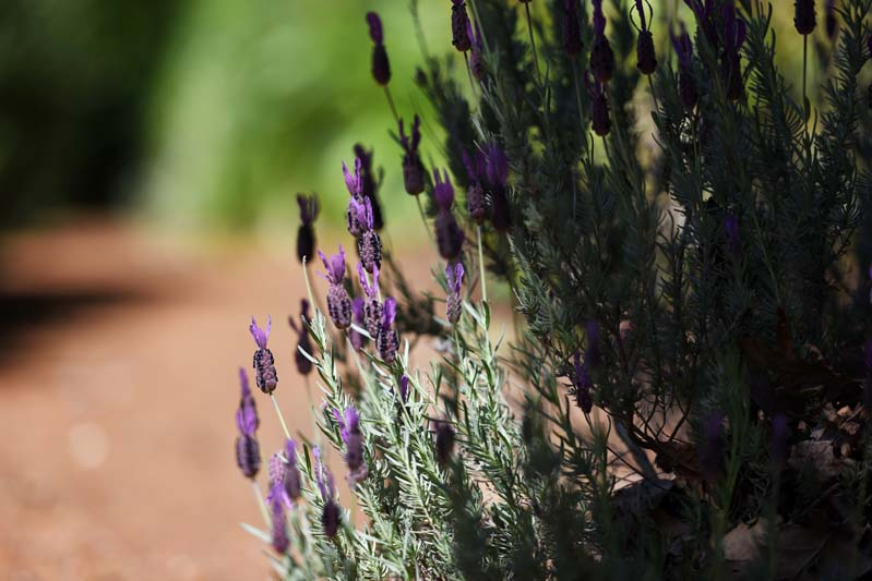 A shrub of aromatic lavender.