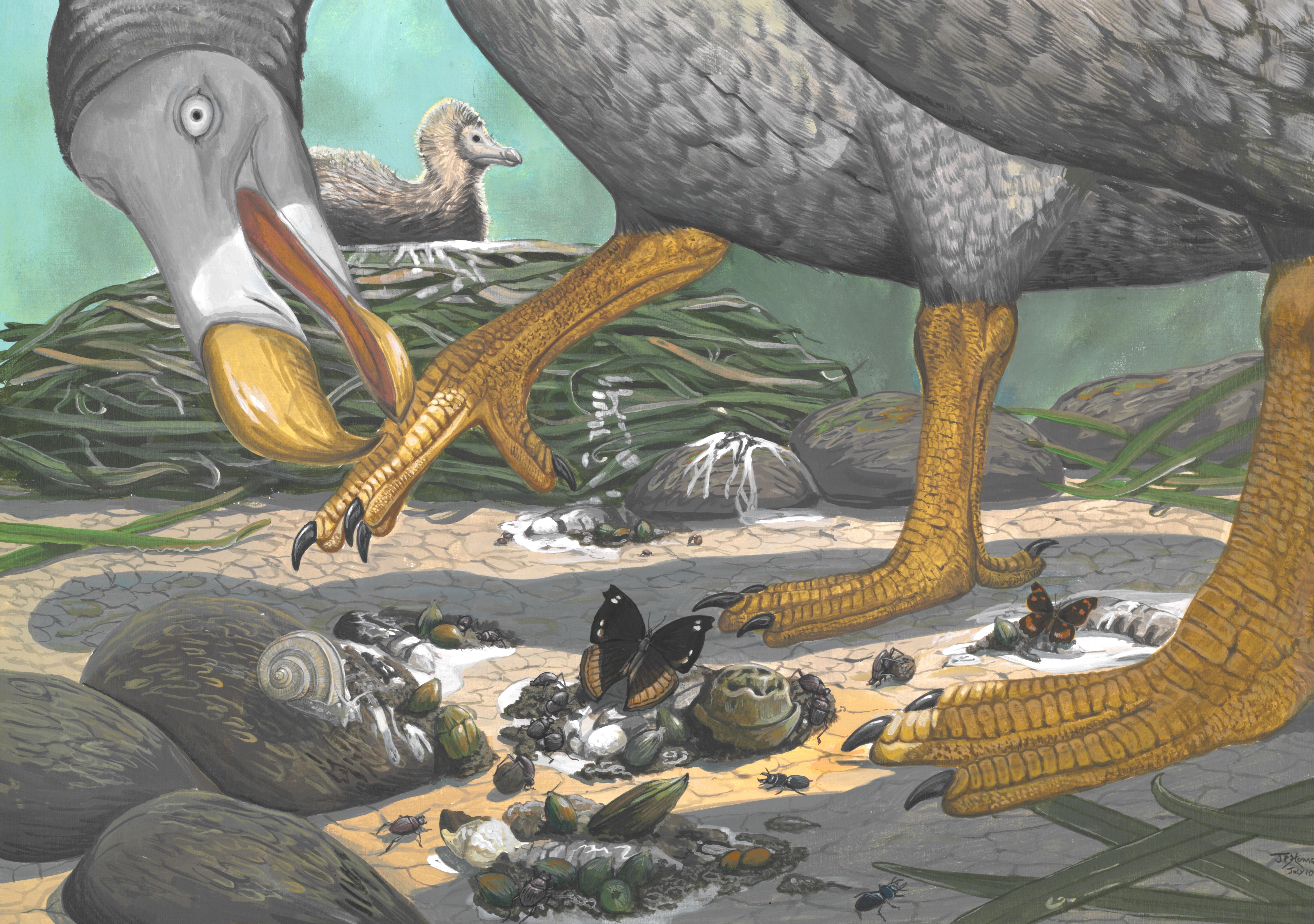 Secret Life Of The Dodo Revealed Uct News