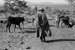 Portraits from a divided land: Kasianyane Maine - Ou Kas, as he was affectionately and respectfully known - takes his cattle out to graze in the early morning at Ledig, near Sun City. (Photo by David Goldblatt.)
