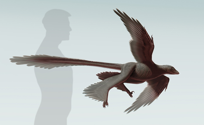Illustration of  Changyuraptor yangi  (S. Abramowicz, Dinosaur Institute, NHM)