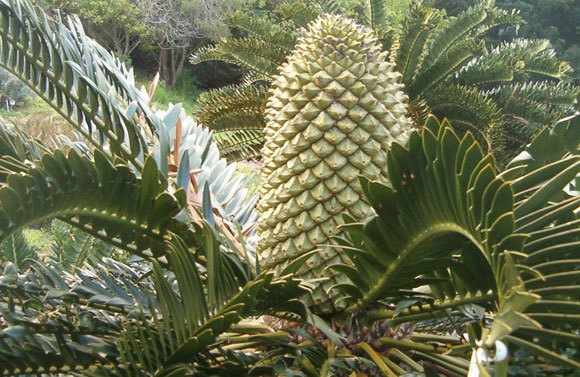 "Encephalartos latifrons at Kirstenbosch Gardens. Twenty-four plants of this species were stolen from Kirstenbosch in August this year. Photo by <a href=""https://commons.wikimedia.org/wiki/File:Encephalartos_latifrons_KirstenboshBotGard09292010D.JPG"">BotBln</a>, licensed under Creative Commons and accessed via Wikimedia Commons."
