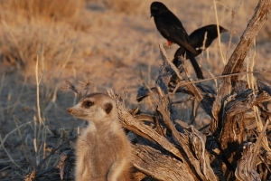 The drongo, an African bird, deceives other species, including meerkats, by mimicking their alarm calls in order to scare them away and steal their abandoned food, according to UCT researcher Dr Tom Flower.