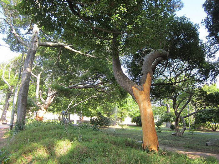The three camphor trees along Stanley Road that were ring-barked in December (when this picture was taken) are on the mend, thanks to treatment by an arborist appointed by UCT.