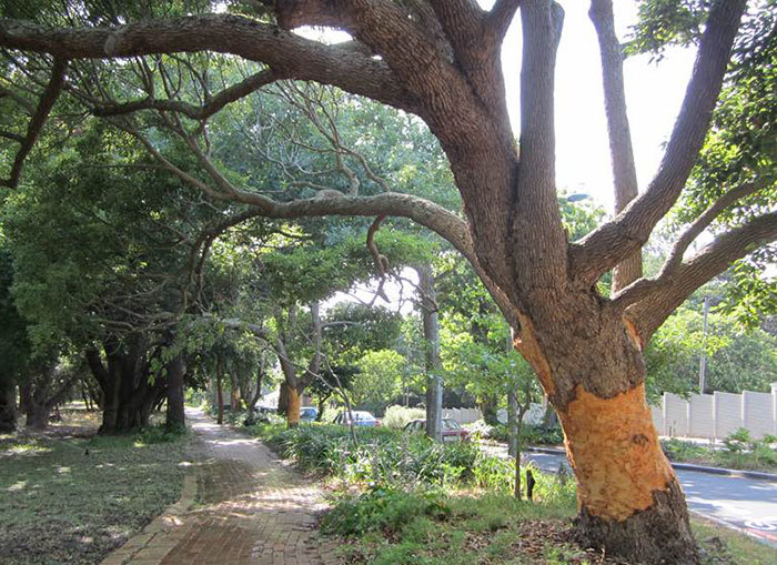 Damaged: UCT is taking urgent measures to save three camphor trees along Stanley Road that have been ring-barked, or 'girdle'.