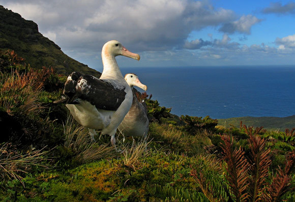 The critically endangered Tristan Albatross breeds almost exclusively on Gough Island.