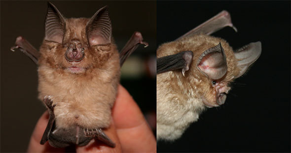 The Cape horseshoe bat is so named because of the shape of the skin surrounding its nostrils.