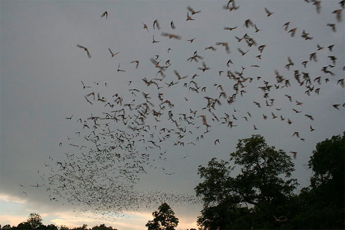 "Bats flying. (Photo by US Fish and Wildlife Service Headquarters, accessed via <a href=""https://commons.wikimedia.org/wiki/File:Bats_flying_(9413217529).jpg"" target=""_blank"">Wikimedia Commons.</a>)"