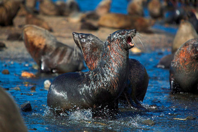 There is an abundance of baby fur seals on the west coast of South Africa, but true seals, which inhabited the area five million years ago, no longer do so. (Photo supplied.)