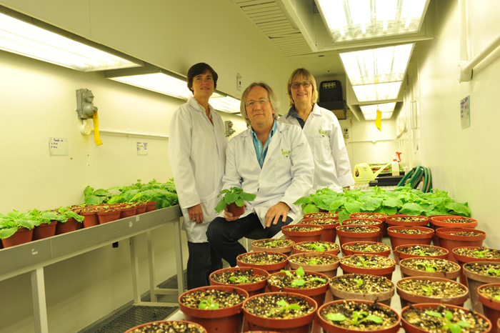 From left: Dr Ann Meyers, Prof Ed Rybicki (seated) and Dr Inga Hitzeroth with the tobacco plants that they hope might play a key role in producing cheaper HPV vaccines.