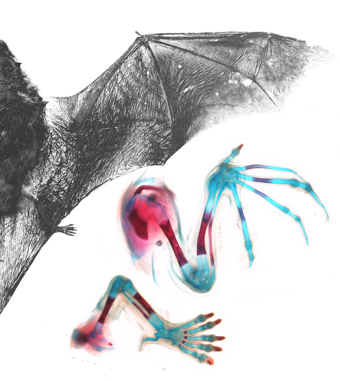 he fingers in the wing of the adult Natal long-fingered bat are dramatically elongated compared to the toes of the foot (grey photo). The insets show photographs of bones (stained in red) and cartilage elements (stained in blue) of the wing and hindlimb of a bat embryo. Note how long fingers 2 to 5 of the wing are compared to the symmetrical five digits of the foot. <b>Image</b> supplied by Nicola Illing and Nadav Ahituv.