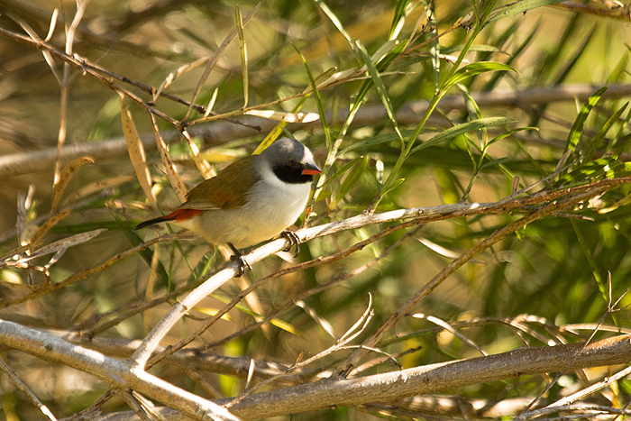 The Swee Waxbill, which lent its name to the winning team from UCT. Photo: Andrew de Blocq.