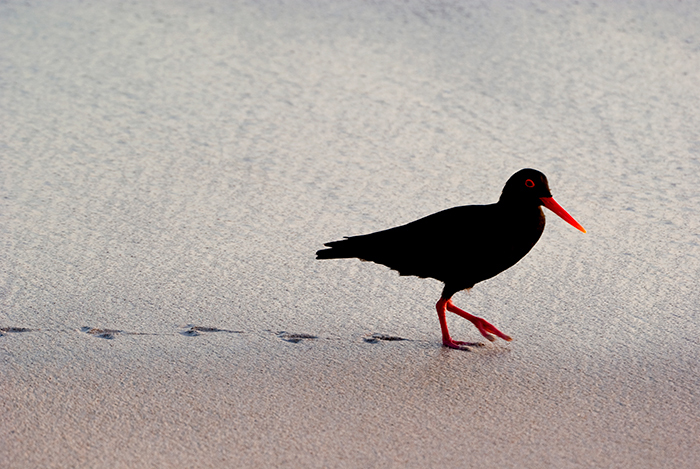 ​​​​​​​The African Black Oystercatcher was pulled from the brink of extinction by a combination of banning beach driving and an invasive mollusc species that the oystercatchers gratefully gobbled up. <b>Photo</b> Campbell Fleming.