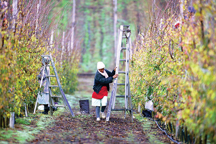 A farmworker pruning fruit trees on Thandi Farm in Elgin, South Africa. (Photo by Trevor Samson for the World Bank.)
