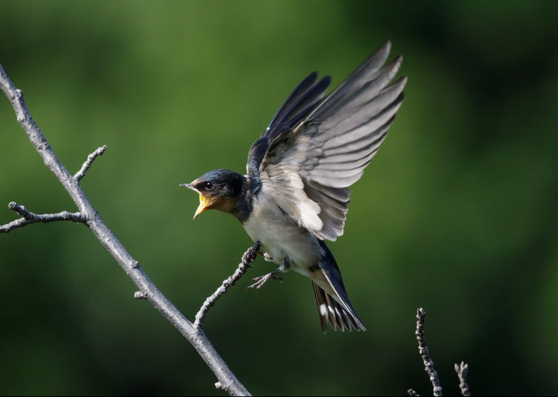 Carefully tracking the migration habits of birds like the Barn Swallow can help to conserve these species.