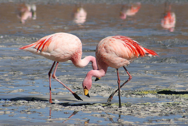 In the hood: Many Greater Flamingos have been spotted in the Black River.