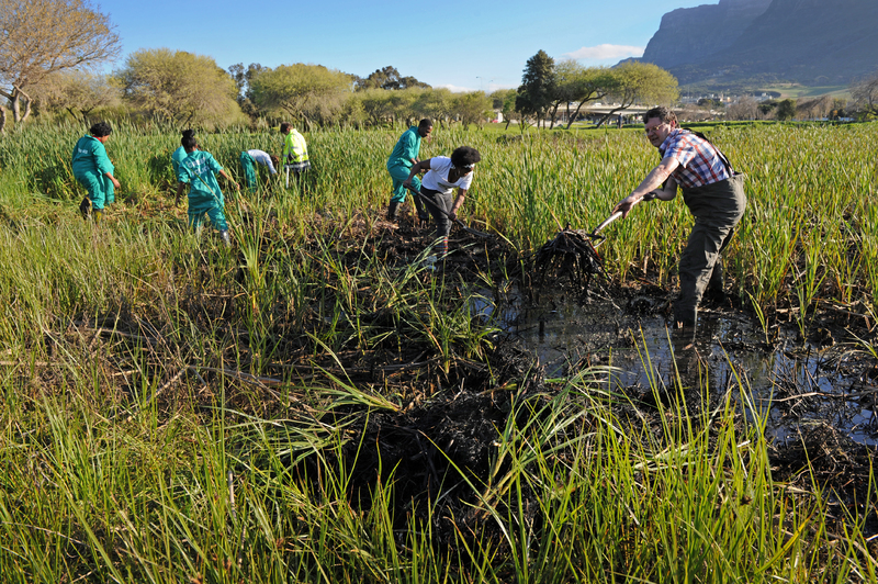 Clean up our rivers: Dr Kevin Winter, together with the Green Campus Initiative remove invasive Common Reed from the Liesbeeck River wetlands.
