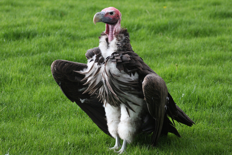 "The Lappet-Faced Vulture is just one of the 14 raptor species that showed a marked decline when compared to the survey conducted in the 1990s.<strong> Photo </strong><a href=""https://upload.wikimedia.org/wikipedia/commons/5/5f/Lappet-faced_vulture_1.jpg"" target=""_blank"" rel=""noopener"">Wikimedia.</a>"