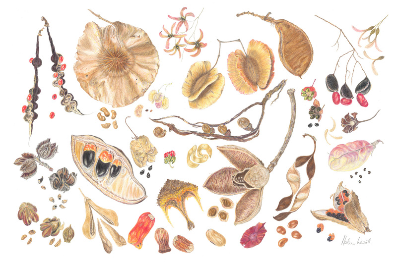Botanical artist Helen Levitt's Pods and Seeds from Southern Africa I is currently on show at the Irma Stern Museum.