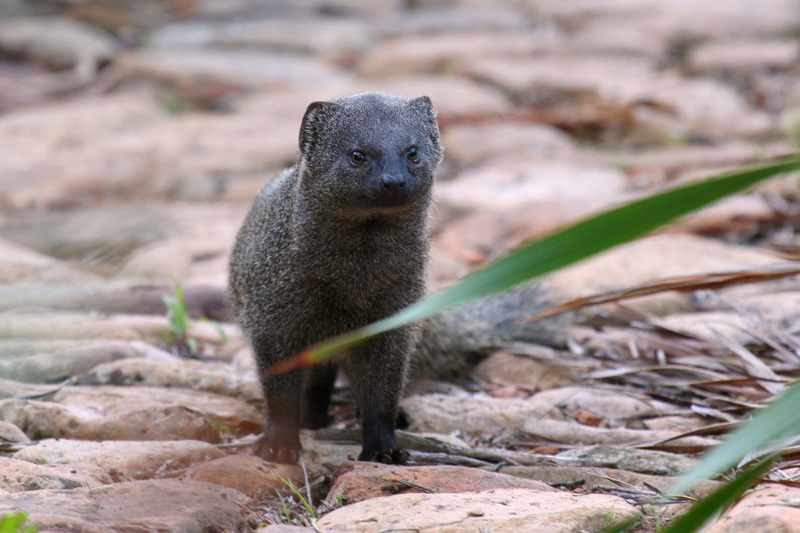 UCT researchers found that the daily scavenging activity of the Cape grey mongoose significantly impacted the decomposition and skeletonisation rates of carcasses.