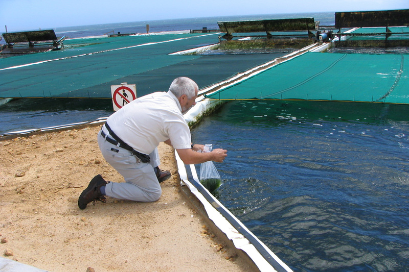 """If we are to feed people in 2050 we have to do things differently."" – Emer Prof John Bolton sampling in a seaweed raceway on a commercial abalone farm. <b>Photo</b> Mike Stekoll."
