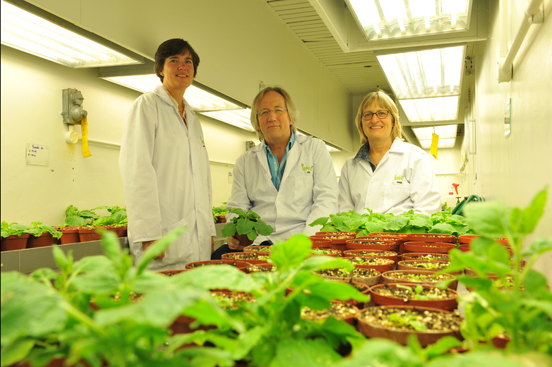 BRU research group leaders in the greenhouse. They are (from left) Dr Ann Meyers, Prof Ed Rybicki and Assoc Prof Inga Hitzeroth.