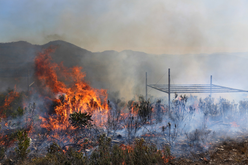While fynbos needs fire to regenerate, overly frequent fires and the invasion of its natural habitat by alien plants are putting pressure on many threatened groups of fynbos plants. <b>Photo</b> Adam West and Justin van Blerk.