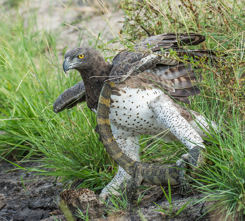 Adult female Martial Eagle (Polemaetus bellicosus) with rock monitor kill. Photographed in Kenya.