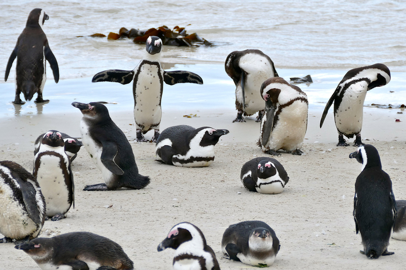 The fact that fish supplies influence penguin behaviour and the fitness of their chicks may be assumed in studies, but is difficult to test, according to the researchers.