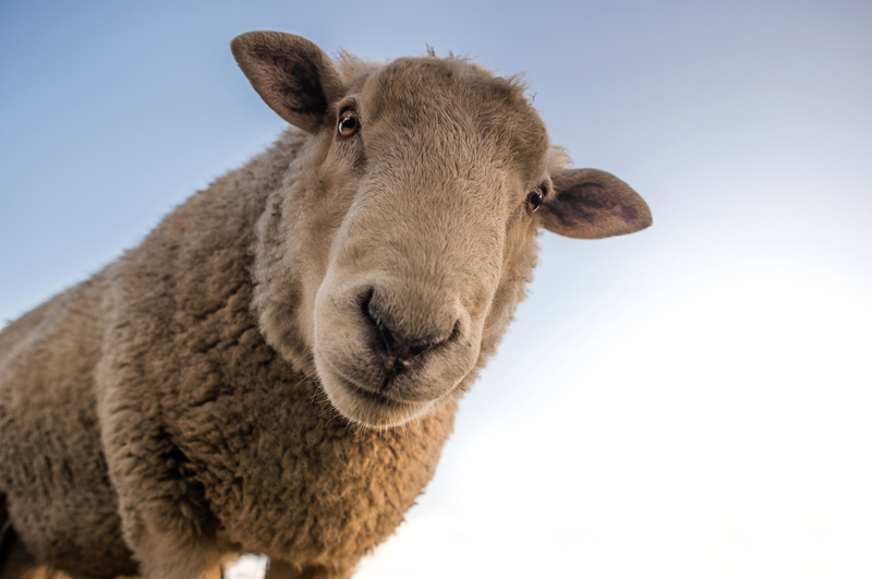 "The second Cape Town Animal Conference brought together over 150 animal activists and leading thinkers in the area. <strong>Photo </strong><a href=""https://www.pexels.com/photo/focus-photo-of-brown-sheep-under-blue-sky-227691/"" target=""_blank"" rel=""noopener"">Skitterphoto/Pexels.</a>"