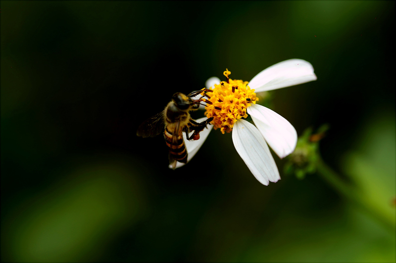 "Assoc Prof Jonny Peter&rsquo;s pollen-monitoring campaign continues to make significant strides when it comes to formally assessing pollen levels in the country. <strong>Photo </strong><a href=""https://www.pexels.com/photo/macro-photography-of-bee-on-white-petal-flower-760160/"" target=""_blank"">Hiếu Ho&agrave;ng, Pexels</a>."