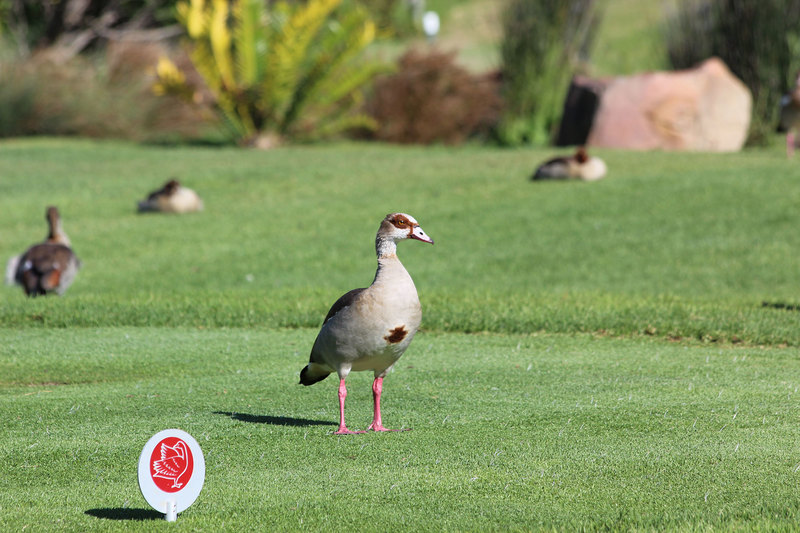 An Egyptian goose – a species that likely benefits from irrigated lawns in urban areas.