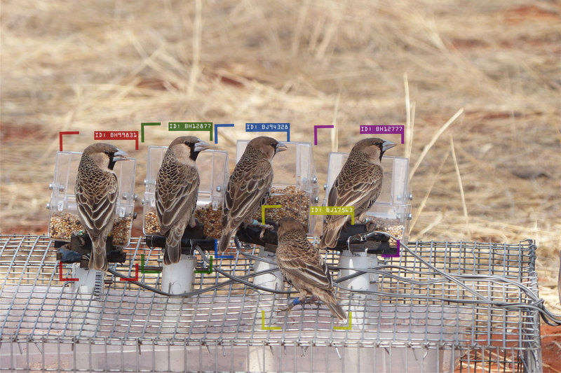 A group of sociable weavers at an artificial feeder. The bounding boxes and the alphanumeric code illustrate the individual identification performed by the computer. <b>Photo</b> Cécile Vansteenberghe.