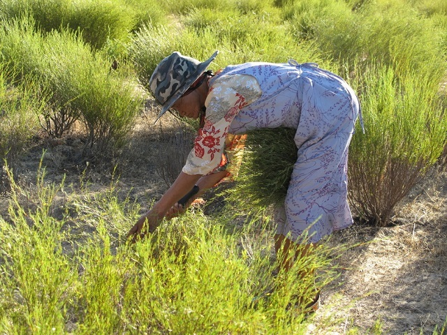 arvesting rooibos in South Africa's Suid Bokkeveld. Paul Weinberg, Author provided.