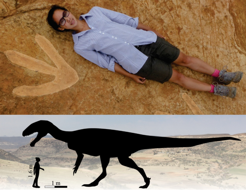 Top: UCT PhD student Miengah Abrahams lies next to the megatheropod tracks found in western Lesotho. Abrahams is 1.6 m tall. Bottom: Estimated size of the Lesotho megatheropod based on the footprints discovered in Roma, Lesotho. Theropod image adapted, with permission, from Scott Hartman.