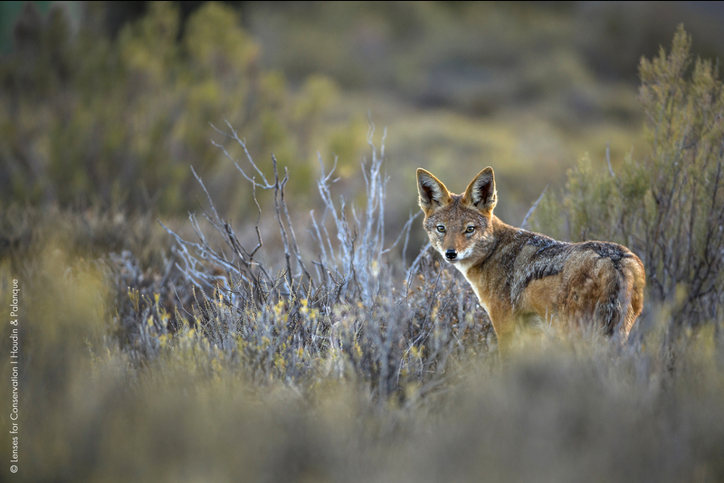 Black-backed jackal photographed in the Central Karoo.