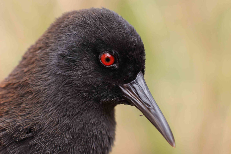 New research, involving scientists from UCT, used genetic techniques to figure out how the ancestors of the Inaccessible Island rail arrived on the island. This particular male rail was the one that contributed its DNA to the study.