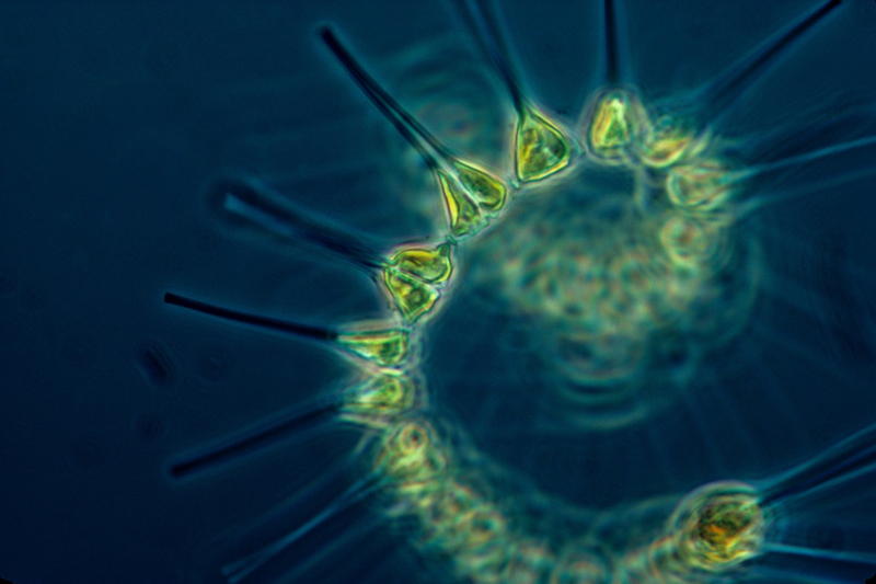 Phytoplankton – microscopic organisms that live in water – vary in size and shape. Like land plants, they can photosynthesize and turn sunlight into energy, placing them at the base of aquatic food webs.