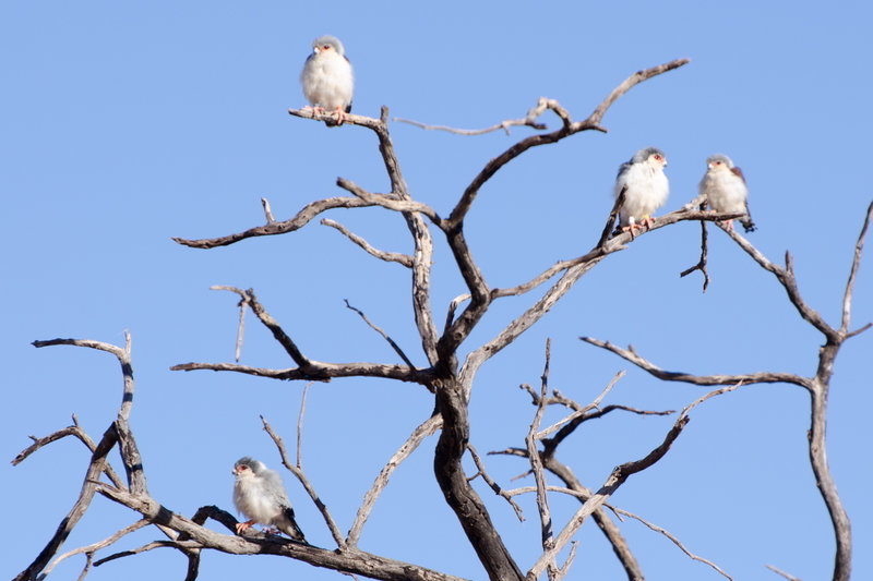 A group of pygmy falcons in the Tswalu Kalahari Reserve in South Africa where UCT researchers conducted a study into the breeding behaviour of these birds.