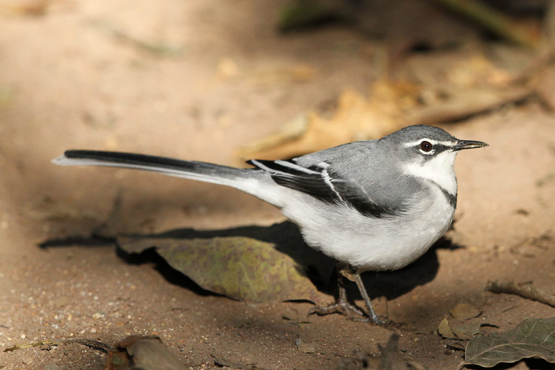 UCT researchers are among a team that has shown climate change is responsible for a group of mountain wagtails (pictured) becoming smaller over time.