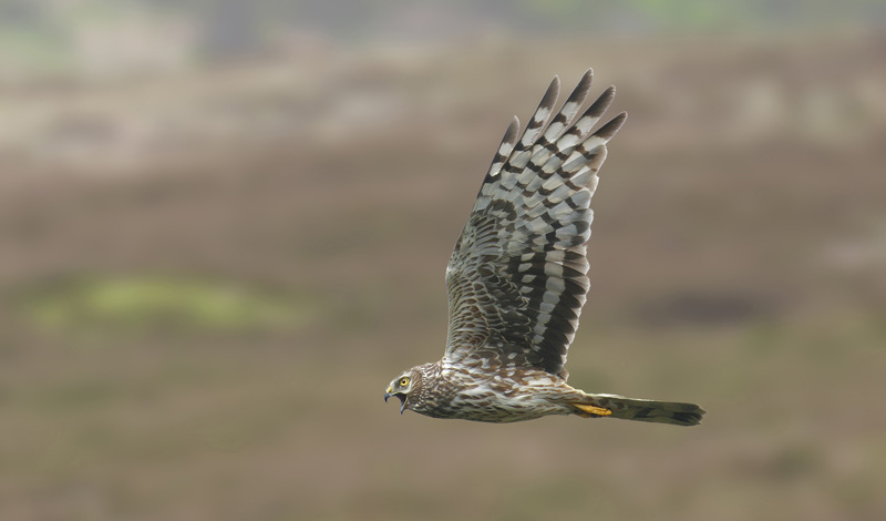 The hen harrier flying over a British grouse moor.