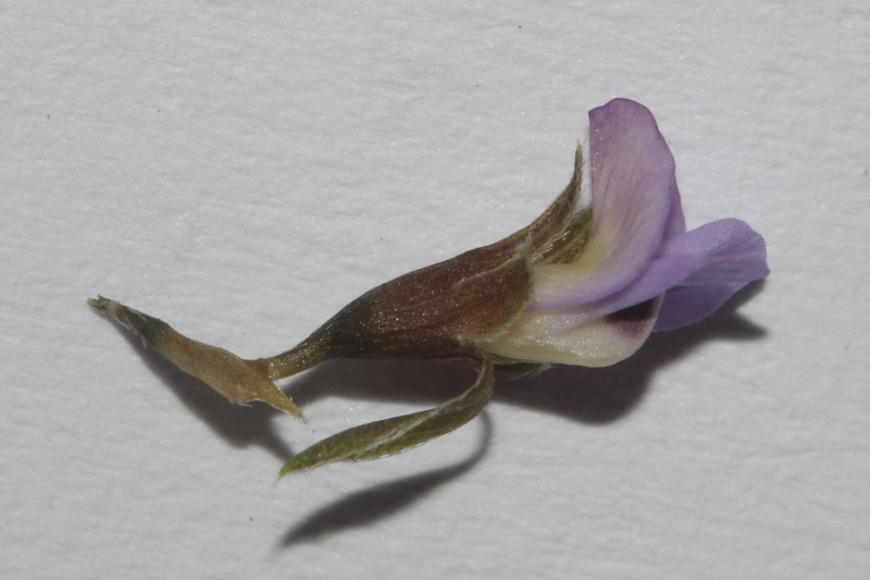 <em>Psoralea cataracta</em> was discovered by Brian du Preez, a PhD student in botany at the University of Cape Town, when he accidentally stumbled upon a population on a narrow track close to a river on a farm near Tulbagh.
