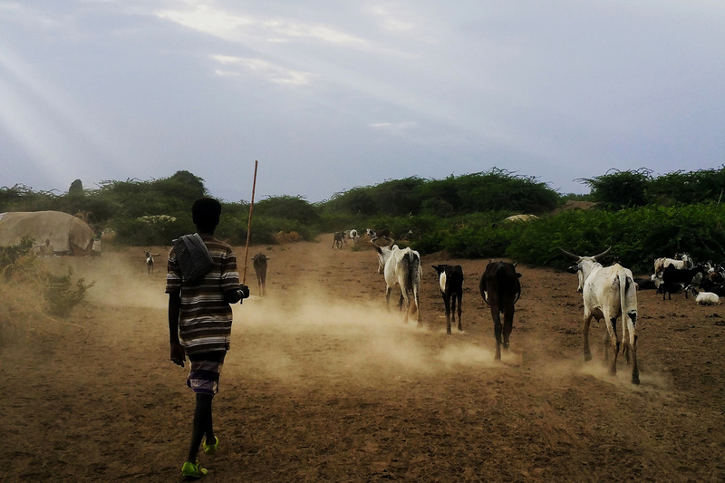 A pastoralist herding cows and goats in the semi-arid Awash River Basin in Ethiopia, one of ASSAR's research areas in East Africa.