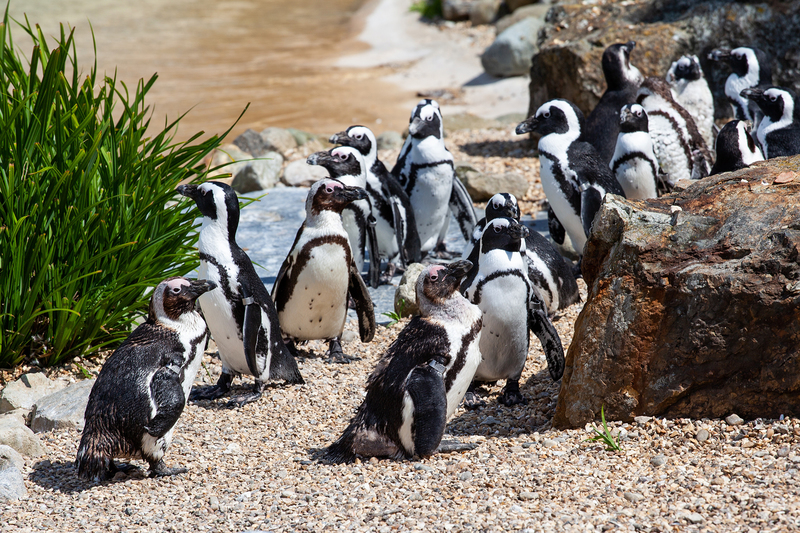 The African Penguin is an endangered species with barely 20 000 breeding pairs left.