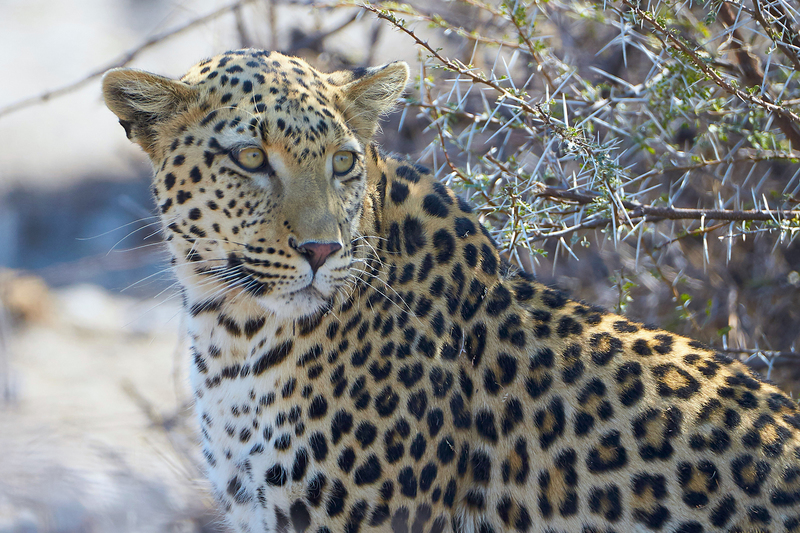 A UCT study gathered over 15 years of data to reconstruct the home ranges and family pedigrees for 150 leopards.