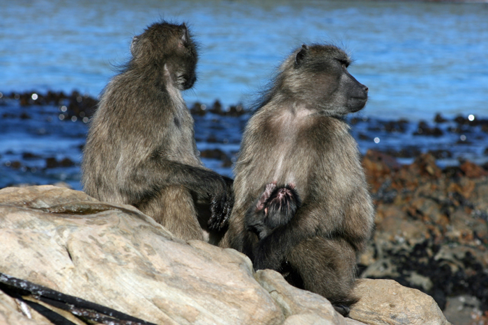 Sea foraging baboons