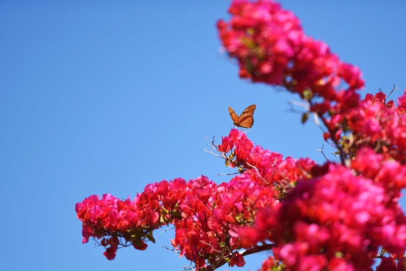 A butterfly lands on bright bougainvillea.