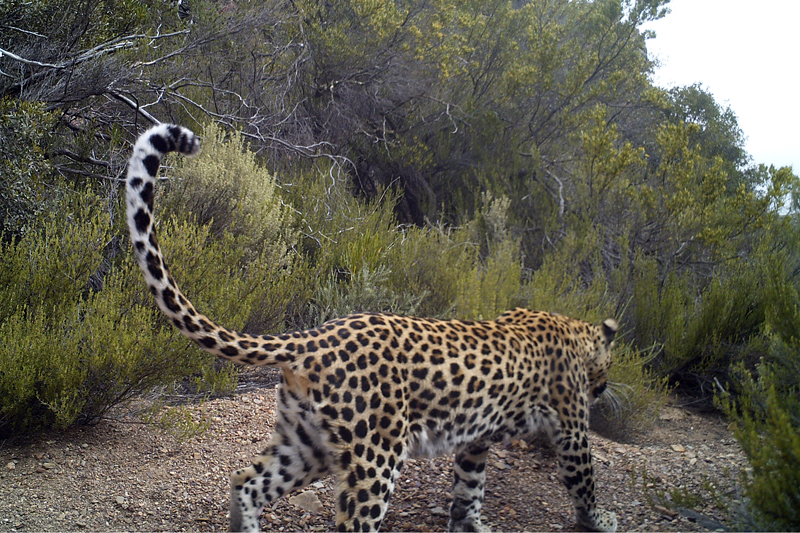 Leopard picture taken by a camera trap set in Anysberg Nature Reserve.