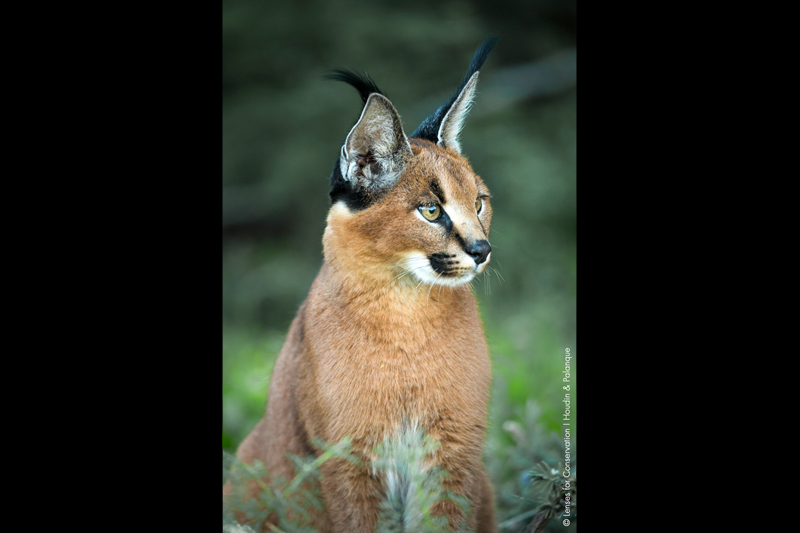 Caracal (Caracal caracal) photographed in the Central Karoo.