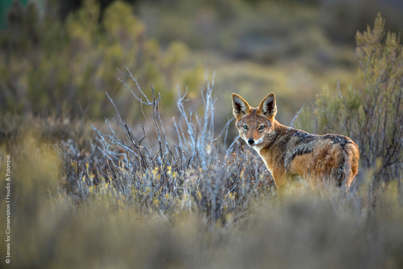 Black-backed jackal (Canis mesomelas) photographed in the Central Karoo.