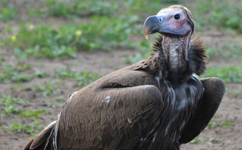 Growing pesticide, lead threat to vultures